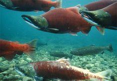 Puget Sound Salmon