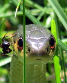 Ant climbing Common Garter Snake