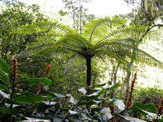 Sur le chemin du piton Cabris par le bras Patates  / Ile de la Réunion