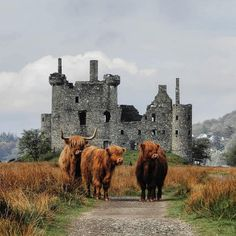 Castles and Scottish Highlands Cattle who could dream of anything better than this on their vacation destination to Scotland? Scottish Highland Cow, Highland Cattle, Scottish Highlands, Scotland Castles, Scottish Castles, Fluffy Cows, Into The West, England And Scotland, Scotland Travel