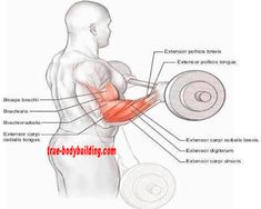 The 4 Best Exercises You Must DO For Huge Forearm - True Bodybuilding - Page 3 Forearm Workout, Super 4, Page 3, You Must, The 4, Biceps, Exercises, Bodybuilding