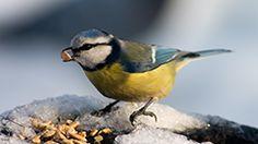 Fugl sidder og spiser