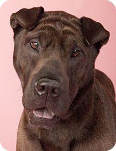 Chicago, IL - Labrador Retriever/Shar Pei Mix. Meet Karma, a dog for adoption. http://www.adoptapet.com/pet/12895233-chicago-illinois-labrador-retriever-mix