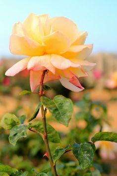 Rose Garden - Photo by Mademoiselle Mermaid.
