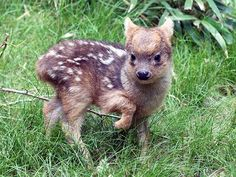 Meet the Adorable Six-Inch-Tall Deer Born to a New York Zoo http://www.peoplepets.com/people/pets/article/0,,20929480,00.html