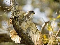 'io bird - Hawaiian Wildlife