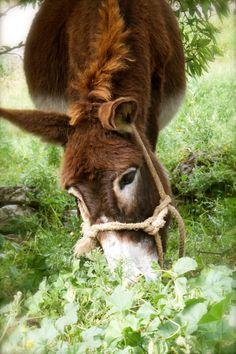 Mammoth Donkey