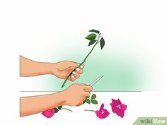 How to Propagate Bougainvillea. Raising a garden full of woody, bright-bloomed bougainvillea only requires a single plant. Outdoor Plants, Garden Plants, House Plants, Tropical Garden, Tropical Plants, Bougainvillea Tree, Mosquito Plants, Arizona Gardening, Small Gardens