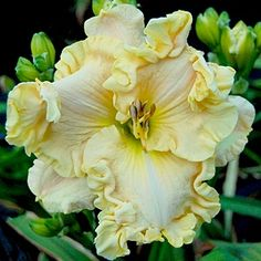 Great Gatsby Daylily.-these would look gorgeous in a bouquet!
