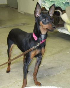 Hello there!I'm Jasmine the MinPin. I'm a friendly little peanut! I like the other dogs here--especially the other two MinPins that are boarding here, and Sammy, the terrier mix who is also up for adoption. I'm not bothered by big dogs either. I...