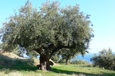 olive-trees-in-greece