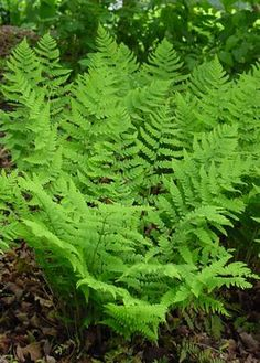 "Dryopteris marginalis (Eastern woodfern or marginal woodfern) - Fern - Zones 3-8, Height 12-18 in. The leathery leaves of Dryopteris marginalis are a beautiful addition to the woodland garden and can form a lovely an easy to maintain groundcover. A sturdy east coast native, it forms a tidy clump that will not spread and is very tolerant of dry shade conditions once it has established. Dryopteris is translated from the Greek as ""oak fern""."