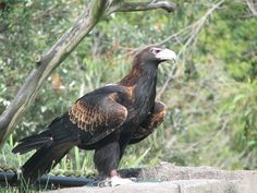 The Wedge-tailed Eagle - Aquila audax, is the largest bird of prey in Australia, it is also found in southern New Guinea. Different Types Of Eagles, Aquila Audax, The Eagles, Largest Bird Of Prey, Wedge Tailed Eagle, Australia Animals, Australian Birds, Birds Of Prey, Wild Birds
