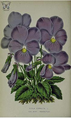 Horned violet. Viola cornuta var. Perfection. La Belgique horticole, journal des jardins et des vergers, vol. 21, (1871)
