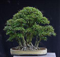 Ficus salicaria clump 8-17-11