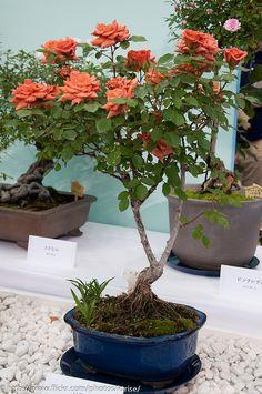 Bonsai Rose by Happy Kota, Flowering Bonsai Tree, Bonsai Tree Care, Bonsai Art, Bonsai Plants, Bonsai Garden, Bonsai Trees, Succulents Garden, Air Plants, Cactus Plants