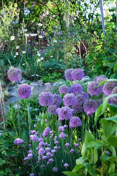 love alliums and chives together! they look like different sizes of the same plant! gorgeous! love love love!