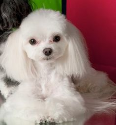How To Groom Maltese Puppies | malteserescue.us
