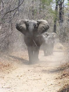Encountering elephants on the road in the South Luangwa National Park.