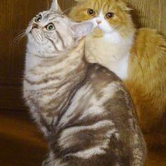 c_ta&teto✨They are good couple💛. . 最近はそれぞれの気の向くままにいるお2人さん♡. なかなか撮れないツーショットが撮れたよ📸✨. . お腹周りがっちりしてるテトさん、#猫胴太祭 っていうのがあるっていうのを聞いたので、行ってらっしゃい👋🏻. . #猫#ねこ#にゃんすたぐらむ#みんねこ#ペコねこ部 #まん丸ねこ部 #愛猫#愛猫熟女会 #フェリシモ猫部 #スコティッシュフォールド #スコ#立ち耳#垂れ耳#かわいい#ツーショット#cats #catloversclub #catoftheday #cats_of_instagram #bestmeow #adorable#igclubcats #fluffy#fluffycat #scottishfold #scottishfoldlovers #kawaii #twoshots