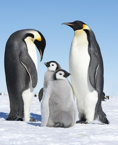 Emperor penguins and babies