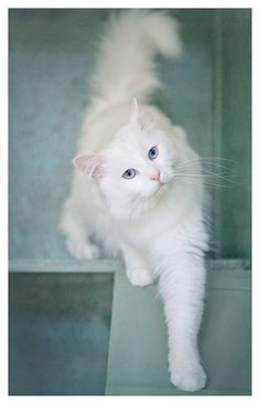15 Purrsome Cat Breeds That Behave Like Dogs – The CATDOGS Want to have cats that act like dogs at your home? There is always a debate going on about if dogs or cats are better companions, and you will find equal amount of people debating over Cool Cats, I Love Cats, Crazy Cats, Pretty Cats, Beautiful Cats, Animals Beautiful, Cute Animals, Pretty Kitty, Beautiful Pictures