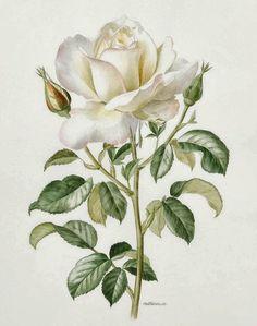 A White Rose by Anne Marie Trechslin 1927 2007 in rose flower drawing A white rose by Anne Marie Trechslin 1927 2007 Rose Illustration, Floral Illustrations, Vintage Flower Prints, Vintage Flowers, Botanical Flowers, Botanical Prints, White Rose Flower, Enchanted Rose, Vintage Drawing