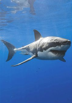 Desvre Desvre - Great pictures of our beautiful planet, animals, architecture, c. Save The Sharks, Cool Sharks, Whale Sharks, Shark Pictures, Shark Photos, Hai Tattoos, Happy Shark, Shark Art, Great White Shark