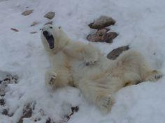 Scary teddy. Luckily, this ice bear lives at Ranua Zoo.