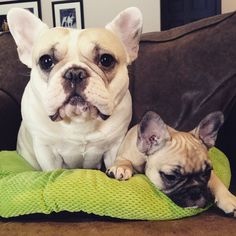 French Bulldogs FTW