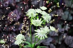 astrantia against purple heuchera . im gonna plant it against black beauty elderberry Side Garden, Easy Garden, Belle Plante, Herbaceous Border, Astrantia, Hardy Perennials, Heuchera, Foliage Plants, White Gardens