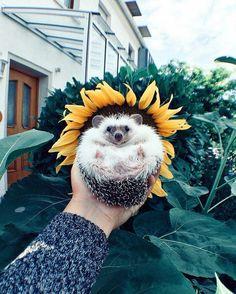 Sunflower hedgehog. http://ift.tt/2dbcxxt                                                                                                                                                                                 More