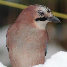 Eurasian Jay (Garrulus glandarius) member of the crow family (Corvidae).