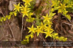 A faj kettős latin neve: Sedum acre Magyar név: borsos varjúháj Család: Crassulaceae  Rend: Saxifragales Életforma: Ch Termés: tüszőcsokor