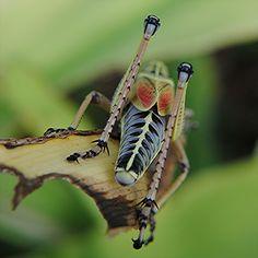 Golden Lubber grasshopper
