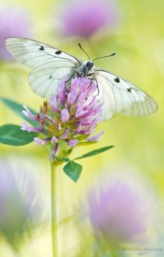 ~White butterfly on purple clover~ Butterfly Kisses, Butterfly Flowers, Beautiful Butterflies, White Butterfly, Flying Flowers, Wild Flowers, Bokeh Photography, New Wall, Belle Photo
