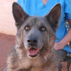 Rocket Man is a regal boy with a friendly, down-to-earth nature.  He likes to shake paws and greet you with a smile.  Rocket Man is a German Shepherd with stunning coloration, 5 years of age and neutered, debuting for adoption today at Nevada SPCA (www.nevadaspca.org).  He likes other large dogs.  We rescued Rocket Man from a local shelter that no longer has an adoption program.