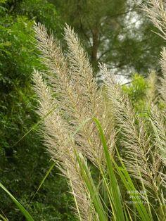 Saccharum spontaneum L., 1771 甜根子草   台灣生物多樣性資訊入口網