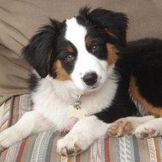puppy_mini_aussie_shepherd.jpg (285×285)
