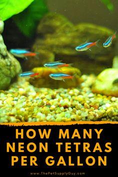 Neon Tetra, Tropical Freshwater Fish, Fish Care, Gallon Of Water, Guppy, Goldfish, Fresh Water, Pet Supplies, Aquarium