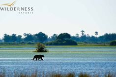 Tubu Tree lies on Hunda Island in the Jao Concession, Okavango Delta, Botswana; it comprises eight tents and offers exciting land and water-based safari activities. Tree Camping, Wooden Walkways, Lion Pride, Okavango Delta, Social Behavior, Lions, Wilderness, Effort