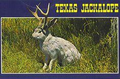 Texas Jackalope Postcard  I have this postcard on my computer table.