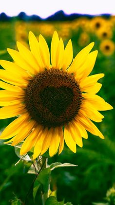 Sunflower bloom beautiful wallpaper for phone Sunflower Garden, Sunflower Fields, Cute Wallpaper Backgrounds, Nature Wallpaper, Beautiful Wallpaper, Iphone Backgrounds, Fall Pictures, Nature Pictures, Boxing Day
