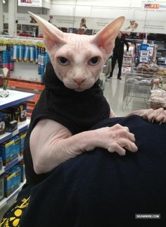 Sphynx Cat - Google Search