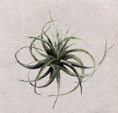 No. 08 | T I L L A N D S I A A E R A N T H O S | commonly known under its genus name 'Tillandsia' or simply as an air plant. The Tillandsia genus is made up of epiphytes. Epiphytes root on other trees/plants/rocks/etc. Though the host plant or surface only offers physical support. Epiphytes don't steal from their hosts they're autothropic (self-sufficient/self-feeding).