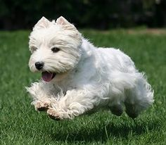 west highland terrier - Google Search