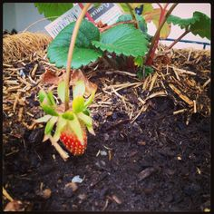 Spring has sprung. The first strawberry in my garden! Can't wait to devour its sweet deliciousness! What's growing in your garden at the moment? #food #garden #fruit #thelovingcook