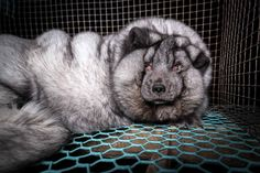DEMAND retailers STOP SELLING FUR NOW! Fur farms in Finland are selectively breeding arctic foxes to grow to an enormous and unhealthy size. These photos show the HORRIFYING extent of their misery. Demand retailers