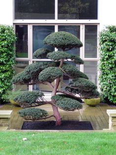 Cloud Puning, a form of Niwaki - Taxus cuspidata (Japanese Yew) grown in Japan for 70 years and planted by us in Surrey