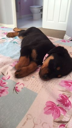 How to Care for a Rottweiler Puppy: 14 Steps